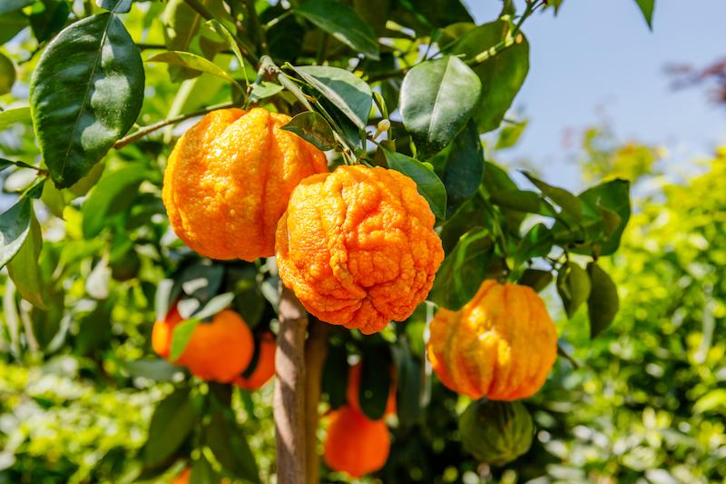 l'orange amère, un excellent coupe-faim